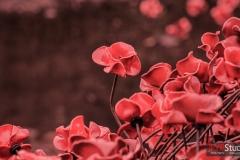 YSP Poppies